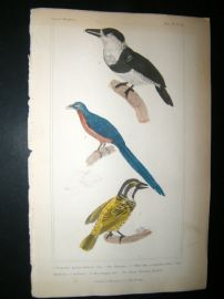 Cuvier C1835 Antique Hand Col Bird Print. The Tamatia, the malcoha, The Black Throated Barbt, 46